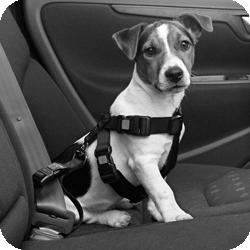 chien attaché en voiture